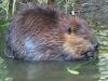 beaver_0