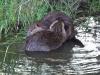beavers-at-play