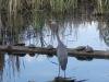 blue-heron-and-turtles