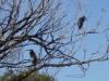blue-heron-on-tree