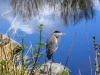 blue-heron_0