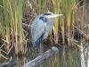 blue-heron_4