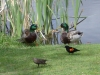 ducks-and-blackbirds