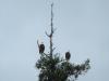 eagles_0