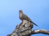 mourning-dove_0