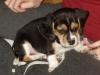 Pocket-beagle-puppy