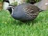 quail_0