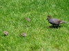 quail_1