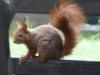 squirrel_0
