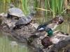turtles-and-ducks