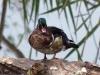 wood-duck-2
